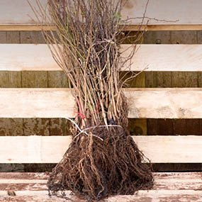 Bare Roots Hedging